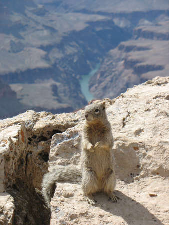 Ground Squirrel on the Grand Canyon photo
