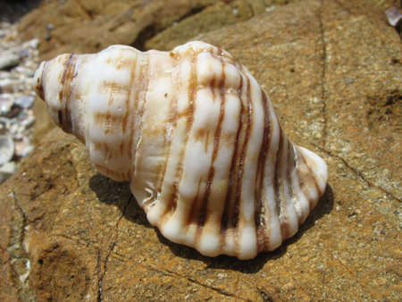 wilsons promontory: Sea Shell