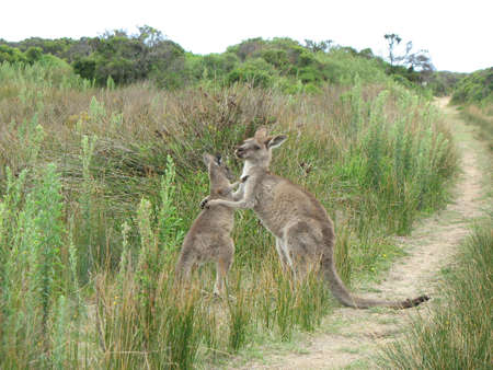 promontory: Kangaroos, Wilsons Promontory, Victoria, Australia