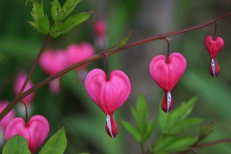 hemorragias: Spectabilis de Dicentra tambi�n conocidos como el coche de Venus, el coraz�n de sangr�a, o flor del lyre