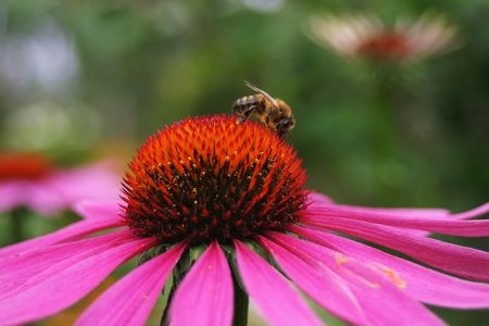 Close up of working bee on echinacea flower photo