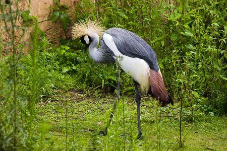 coronet: Grey Crowned Crane (Balearica regulorum) walking in grass Stock Photo
