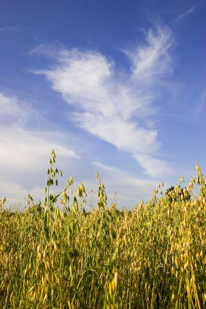 Field of oats against blue sky with white clouds photo