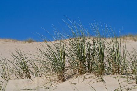 sawgrass: Marram Grass, Bent or Beach Grass in sand dunes near Baltic sea
