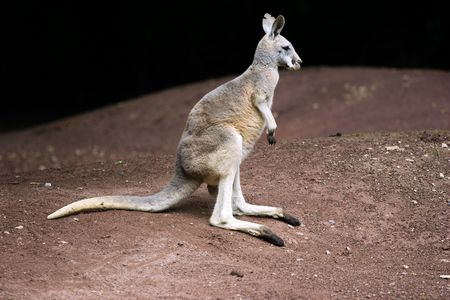 marsupial: Kangaroo is a marsupial from the family Macropodidae (macropods, meaning large foot). The kangaroo is an Australian icon. Clipping path for animal included. Stock Photo