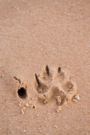 Footstep of a large dog in beach sand. photo
