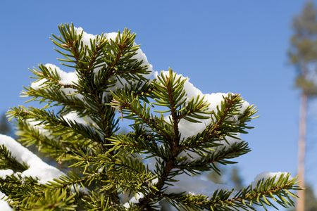 White snow on fir tree branch. Blue sky in background photo