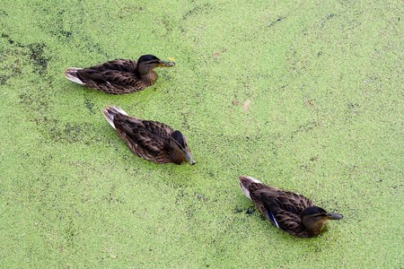 morass: Group of swiming Ducks in green morass