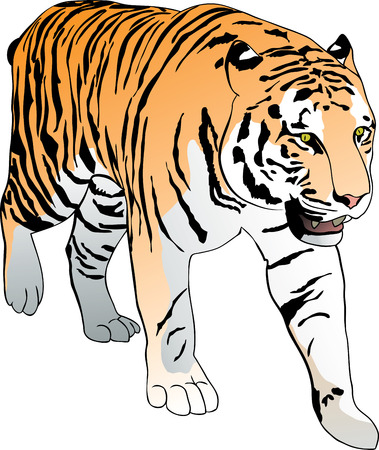 bengal: Standing Bengal tiger. Hand drawn vector illustration
