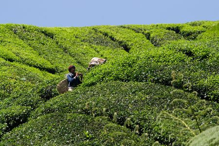 CAMERON HIGHLANDS, MALAYSIA, 4 JULY, 2009: Workers harvesting tea in Boh tea plantation.