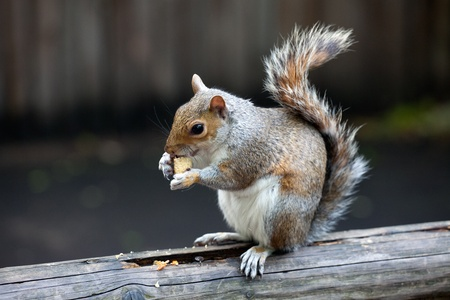 The grey squirrel eating nut in St. James photo