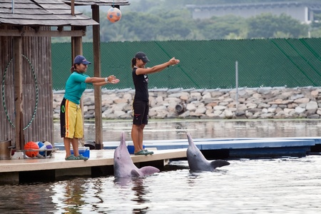pink dolphin: SINGAPORE - JUNE 20: Two asian instructors perform with Pink Dolphins at show in Sentosa Island, Singapore, June 20, 2009. Show is part of the Singapore Underwater World. Dolphin Lagoon is home to some Indo-Pacific humpback dolphins, also known as the pin