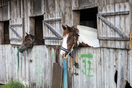 Two horses looking outside of the stable  photo