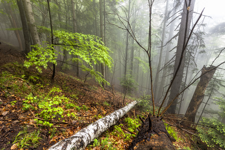 baile: Foggy natural forest with fallen trees in Romanian Carpathian mountains