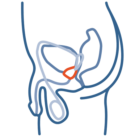 Median section of Male Pelvis with reproductive system, prostate gland and some other internal organs. Thin line linear illustration.