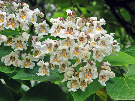 catalpa: Indian bean tree flower - close up