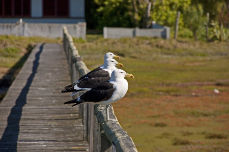 garden staff: Knysna, Garden Route, Western Cape Province, South Africa. Seagulls. Stock Photo
