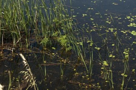 kerkini: Pond area  plants at Kerkini lake, nord Greece