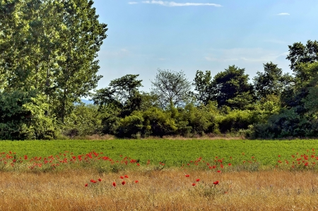 kerkini: Kerkini lake eco-area at nord Greece by Struma river. Poppy flowers along to field.