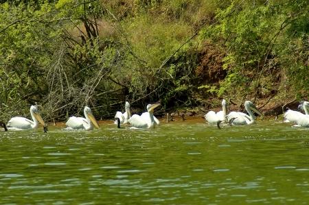 kerkini: Kerkini lake birds life - pelican, heron, seagull, cormorant, duck