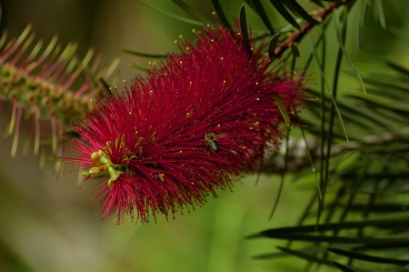 callistemon: Beautiful Callistemon citrinus also known as Crimson Bottlebrush