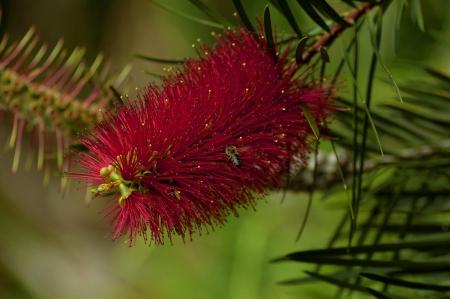 callistemon citrinus: Beautiful Callistemon citrinus also known as Crimson Bottlebrush