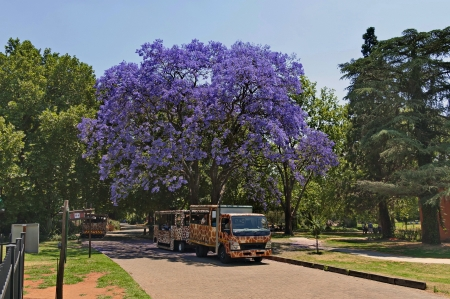 Attraction transport and jacaranda tree blossom in zoo photo