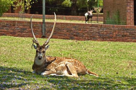 Beautiful roe deer in Johannesburg zoo photo
