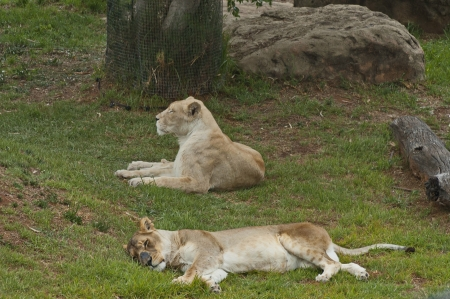 royality: Two lions take a rest in Johannesburg zoo Stock Photo