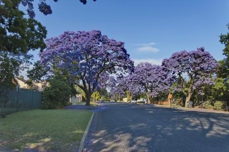 johannesburg: Jacaranda blossom in spring at Johannesburg street