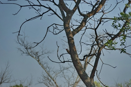 rus: Woodpecker eavesdrop one dry tree in early morning, Kudus Rus, South Africa Stock Photo