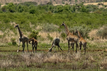spoted: Group of giraffes by pond in Pilanesberg National Park