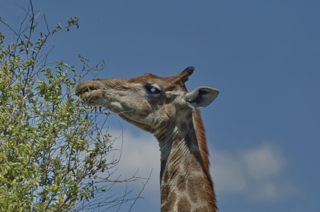 spoted: Head and neck of feed giraffe in Pilanesberg National Park