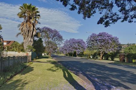 johannesburg: Jacaranda blossom in spring at Johannesburg street, South Africa