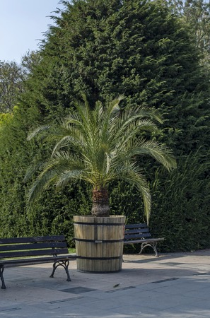 plant pot: Plant pot with palm in Ruse garden, Bulgaria