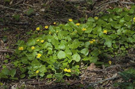lesser: Lesser celandine (Ranunculus ficaria) flower in garden Stock Photo