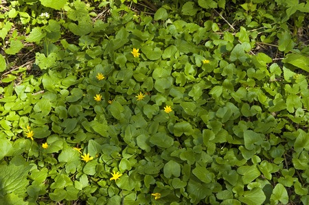 leafage: Lesser celandine (Ranunculus ficaria) flower in garden Stock Photo