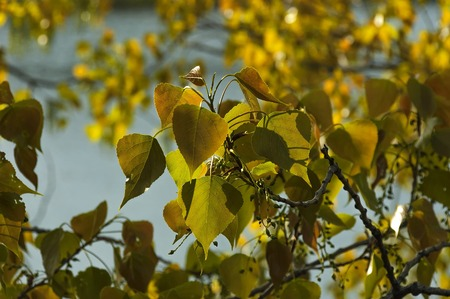 arbol alamo: Follaje del árbol de álamo en resorte