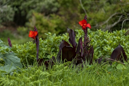 kwazulu natal: Beautiful red flowers on Cathedral Peak area