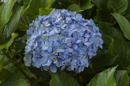 kwazulu natal: Light blue purple hydrangea on Cathedral Peak hotel
