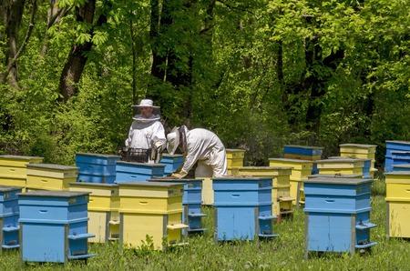 apiarist: Apiarist work in bee-garden, Zavet town