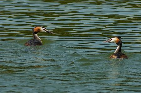 ducklings: Two ducklings in Kerkini lake, Greece Stock Photo