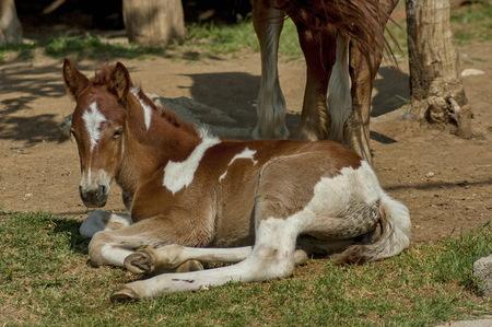 kerkini: Young foal by Kerkini lake, Greece
