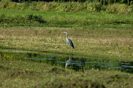 kerkini: Heron bird at Kerkini lake in nord Greece