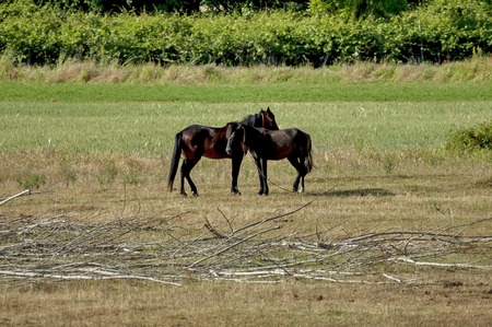 kerkini: Two horse - male and female in Kerkini lake area, Greece