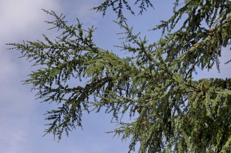 conifer: Branch and twig of unknown conifer tree, Bulgaria