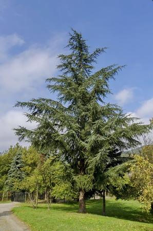 Unknown conifer tree in Pancharevo park, Bulgaria