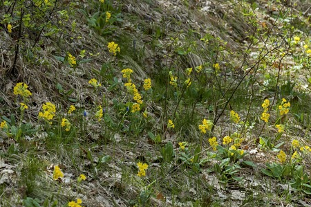 cowslip: Glade with yellow cowslip at spring in mountain Balkan Stock Photo