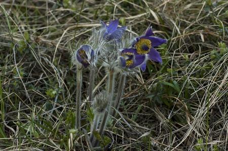 pulsatilla: Pulsatilla vulgaris flowers at spring in mountain Balkan