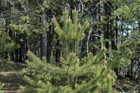 needle tip: Mountain in spring - in front pine tree
